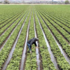 Immigration raids scare California farmers, not just their workers: Thomas Elias