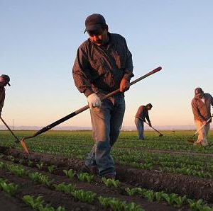 California Agriculture Sees 'Chilling, Damaging Effect' From Wave of Immigration Audits