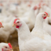 Chicken Plants See Little Fallout From Immigration Raids